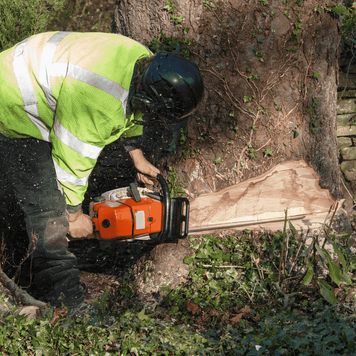 Picture of our tree cutter making a precise wedge to remove a large tree from the base