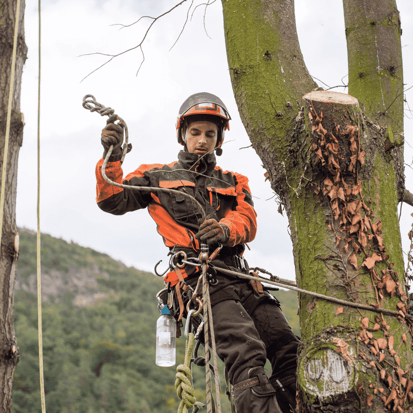 Picture of tree climber securing safety harness up high